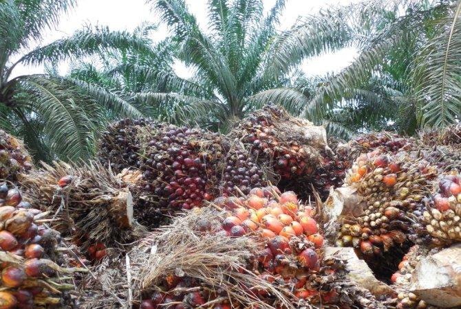 Plantación de palmoil en Indonesia (Foto: Maja Slingerland, WUR)