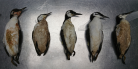 Research on increased seabird mortality