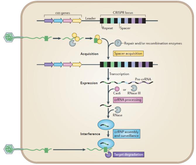 CRISPR mechanisme.png