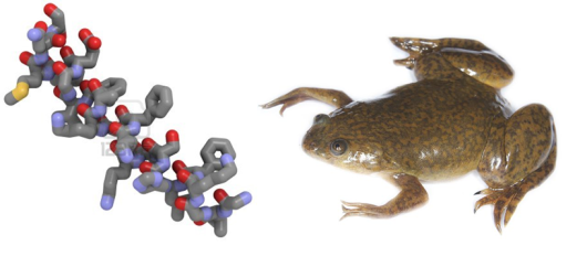 Fig. 1- Maginin 2 (left) is one of the many antimicrobial peptides found on the skin of Xenopus frogs (right)