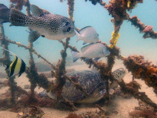 Scientists from Wageningen University & Research place shelters to attract herbivorous animals to coral reef restoration sites. Their grazing facilitates coral reef development. Photo: Ewout Knoester