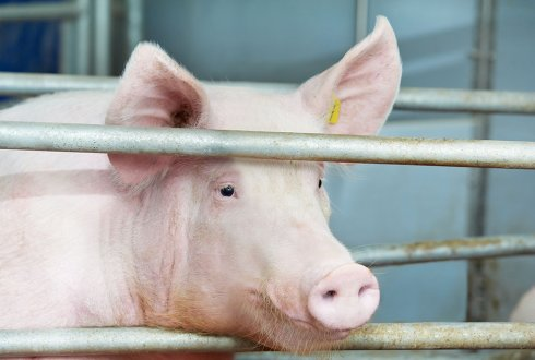 hybrid nature of pig genomes