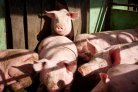 Preventing heat stress in pigs with heat protocol