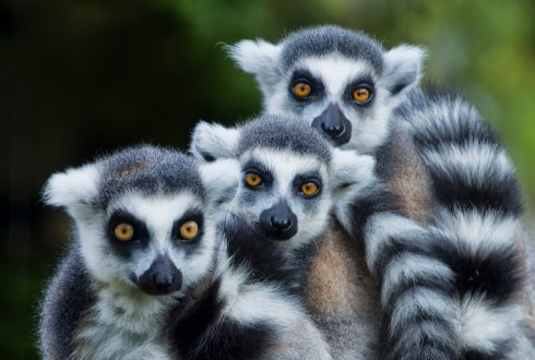 LEMURS ON A SINKING RAFT? The ballast of anthropogenic disturbances