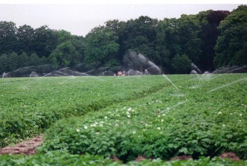 Irrigation of late blight inoculated field