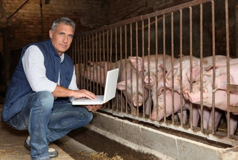 Pigs with farmer