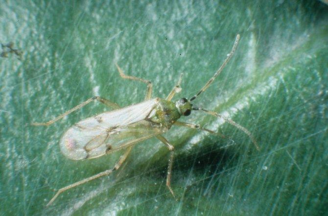 Insecto depredador (Nesidiocoris tenuis)