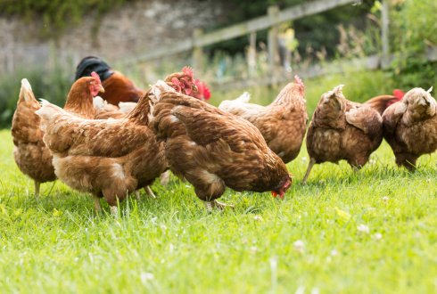 Genetics of social interactions in laying hens: improving survival and productivity