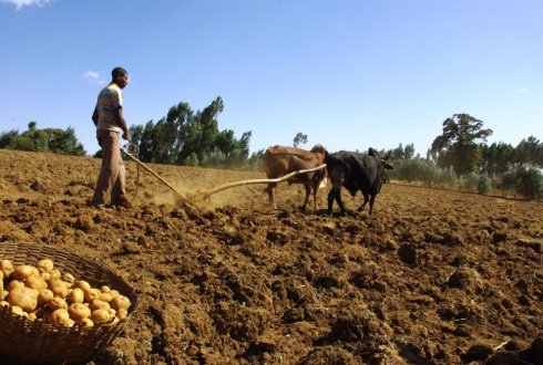Ethiopian farmers ploughing his potato field, with two oxes