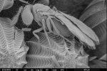 Scanning electron microscopy image of the tiny parasitic wasp Trichogramma evanescens. Picture by Marcel Giesbers and Hans Smid