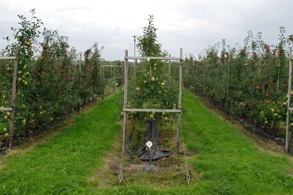 Soilless cultivation of apple