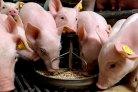 handboek varkenshouderij