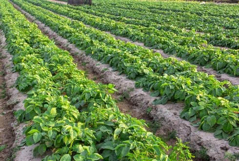 Nitrogen use efficiency in potato: an integrated agronomic, physiological and genetic approach