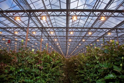 LEDs as synthetic biology tools to optimize production of high value plant compounds in greenhouses