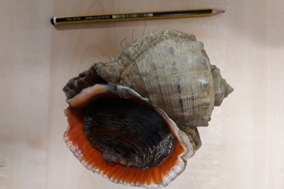 Veined rapana whelk discovered in Oosterschelde (The Netherlands)