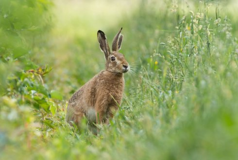 Effect of predation risk and habitat characteristics on the ecology of European hare