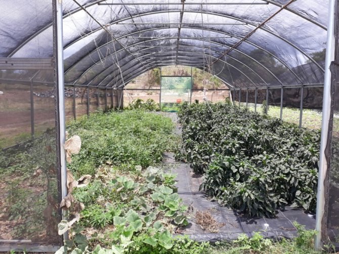 Covered vegetable and herb cultivation based on drip system on St. Eustatius (Dolfi Debrot)