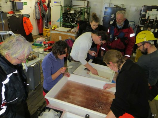 Team Iceflux has a look at the catch and helps out sorting and counted. Many hands make the work a lot easier!