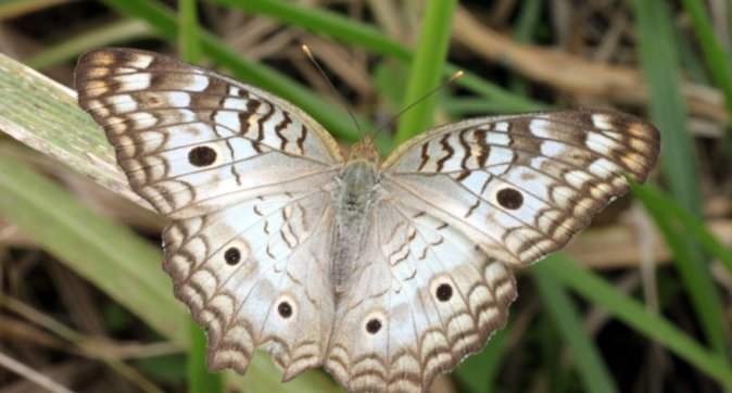 New butterfly census for the Dutch Caribbean Windward Islands