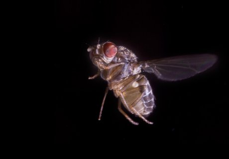Flying robot shows why it's so difficult to swat a fly