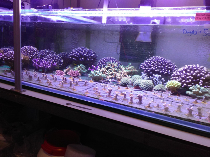 One of the coral culture tanks with several species of reef-building corals. Photo: Dr. Tim Wijgerde.