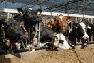 koeien veeteelt landbouw