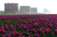 Field of tulips Almere