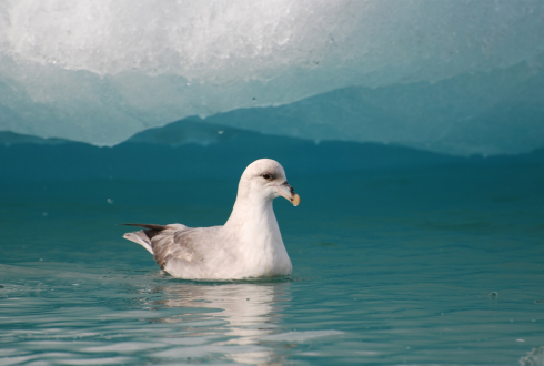 Plastic ingestion by Northern Fulmars, Fulmarus glacialis, in Svalbard and Iceland, and relationships between plastic ingestion and contaminant uptake.