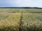 Productivity of wheat varieties continues to increase
