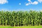 Wetenschappelijk artikel verschenen over opbrengsttrends van Nederlandse voedergewassen