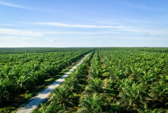 Oil palms in the rice field: An ethnography of large-scale land aquisition for oil palm plantation development in West Kalimantan