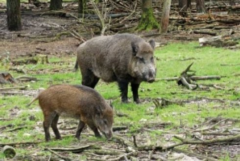 Genetic mixing with domestic pig may lead to reduced resistance in wild boar