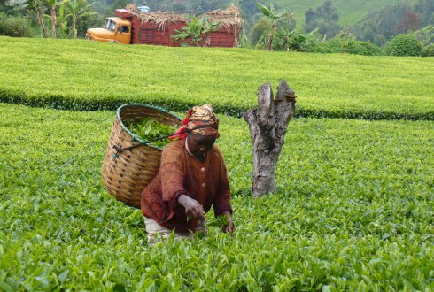 Impact of farmer field schools and rainforest alliance in smallholder tea production