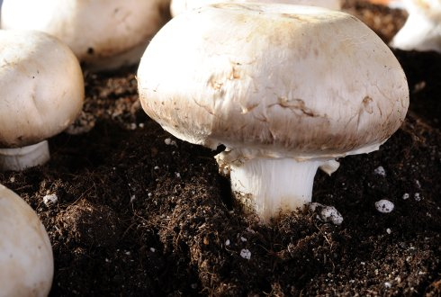 How mushrooms feed on compost: Conversion of carbohydrates and lignin in industrial wheat straw based compost enabling the growth of Agaricus bisporus