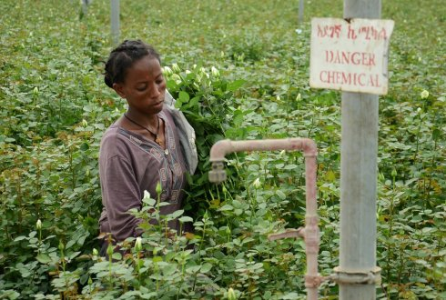 Environmental Governance of Pesticides in Ethiopian Vegetable and Cut Flower Production