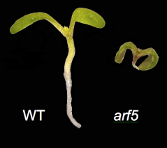 Figure 2. An arf5 mutant plant is unable to make a root.