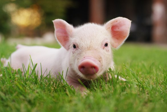 Diagnostics: Pig diseases