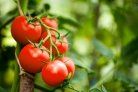 Different approaches of combating bacterial canker in tomato: in pursuit of resistance