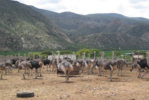 Overgrazing by ostriches, leading to land degradation in Baviaanskloof, South Africa (Picture: Nicolein Blanksma)