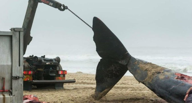 Stranded sperm whale free of plastic