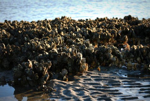 Ecological Engineering with Oysters for Coastal Resilience: Habitat Suitability, Bioenergetics, and Ecosystem Services