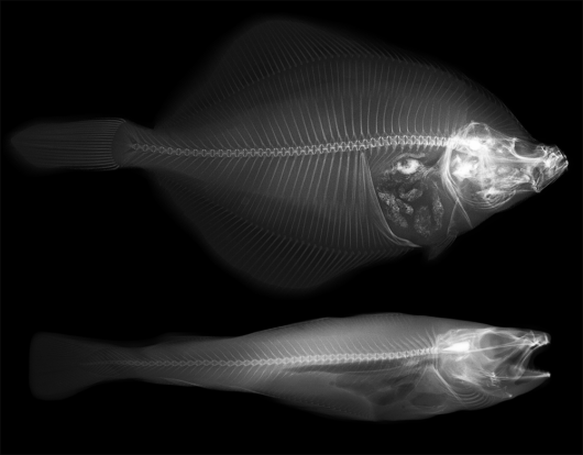 Scientists from Wageningen University & Research use radiography, an X‐ray imaging technique, to study the internal structure of marine fish caught by electric pulse fisheries in the North Sea. Photo: Remco Pieters