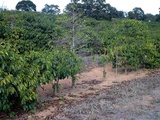 Xylella symptoms in coffee plants. (Photo: Prof Dr Ricardo Magelas, UFLA, Lavras, Brazil)