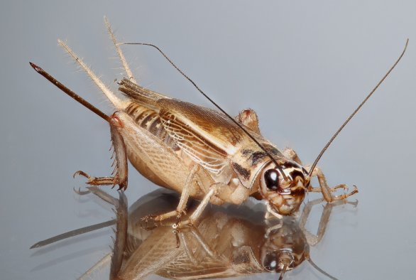 Odds of edible insects transmitting coronavirus SARS-CoV-2 is negligible