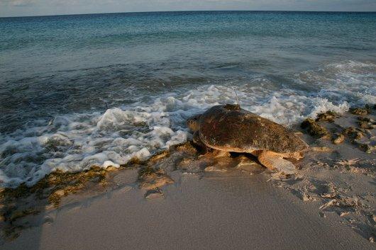 Een zeeschildpad met zender gaat terug de zee in (© Mabel Nava).