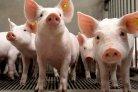 Door dagontmesting en koeling methaanverliezen uit varkensstallen voorkomen_veehouderijenklimaat