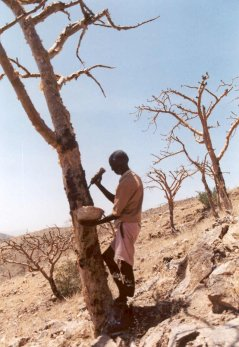 Man tapping Boswellia tree for incense (© Woldeselassie Ogbazghi)