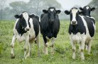 Genetic improvement of feed intake and methane emissions of cattle