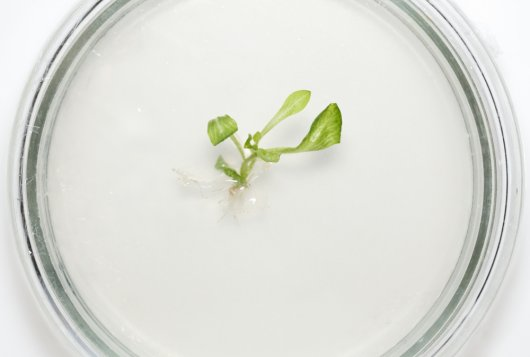 Plant tissue matrix: In-vitro studies to understand its role in starch digestion and fermentation