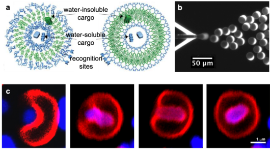 Figure 1. (a) Schematics showing the structure of polymersomes (left) and dendrimersomes (right)[2]. (b) Fluorescence image showing the OLA technique1. (c) A flexible dendrimersome engulfing a bacterium [3].